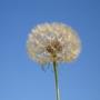 Tragopogon Porrifolius Seedhead