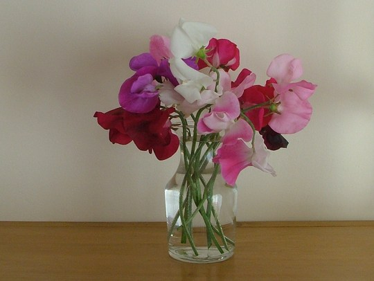 first cut sweetpeas