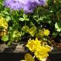 Flower of creeping jenny