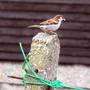 Cock Sparrow On My Line Post
