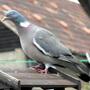 Mr Pigeon Looking4 Breakfast :)