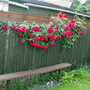 Pauls Scarlet Rose