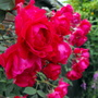My Pauls Scarlet Rose Is Full Of Flowers This Year :D