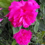 Zelphirine Droughin Rose