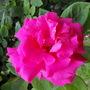 Zelphirin Droughin A Climbing Thornless Rose