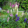 Lupins/Foxgloves/Delphiums