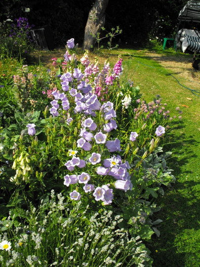 More Canterbury Bells I Grew 2008!!!