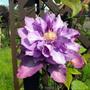 A More Open Vyvyan Pennal Clematis Flower