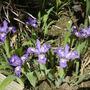 Miniature iris - May 2008