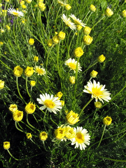 Golden Marguerite (Anthemis tinctoria (Golden marguerite))