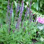 Dark blue Salvia (Salvia x sylvestris)