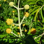 Buddleja 'Globosa' (Buddleja globosa (Orange ball tree))