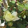 Yellow memory Rose
