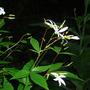 Gillenia Trifoliata (Gillenia trifoliata (American Ipecac))