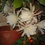 Epiphyllum oxypetalum - Dutchman's-Pipe Cactus (Epiphyllum Oxypetalum)