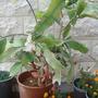 Epiphyllum oxypetalum - Dutchman's-Pipe Cactus (Epiphyllum oxypetalum - Dutchman's-Pipe Cactus)