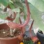 Epiphyllum oxypetalum - Dutchman's-Pipe Cactus. (Epiphyllum oxypetalum - Dutchman's-Pipe Cactus.)