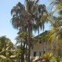 Livistona australis - Australian Cabbage Palm (Livistona australis - Australian Cabbage Palm)
