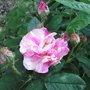 Rosa gallica 'Versicolor' - 2010 (Rosa gallica 'Versicolor')