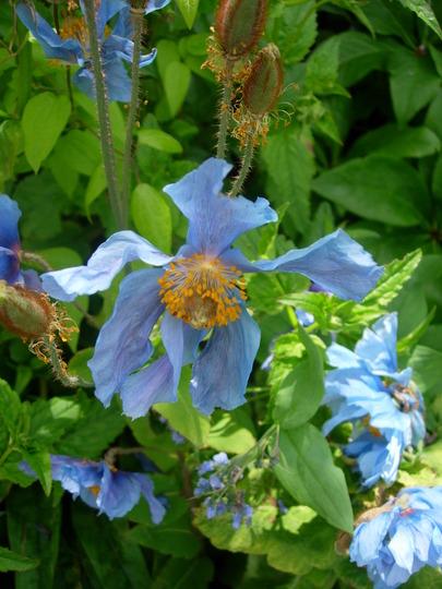 'frilly' Meconopsis (Meconopsis betonicifolia (Himalayan blue poppy))