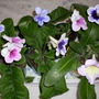 Young Streptocarpus, first flowers