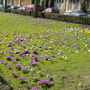 crocuses in a meadow near our house and the canal in Groningen