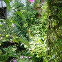 clematis, kiwi, hydrangea petiolaris, red currants in our back garden -Holland June 2004