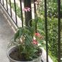 Echinacea flowering!