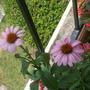 "Close-up of the echinacea ""Primadonna Deep Rose"""