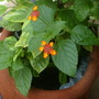 "Lantana ""Dallas Red"" flowering."