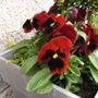 Pansies in flower