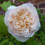 Rosa 'Sweet Juliet' (Rosa)