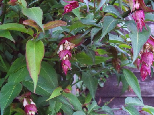 himalayan honeysuckle (Leycesteria formosa (False Nutmeg))