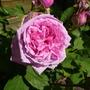 Rosa 'Comte de Chambord' (Rosa)