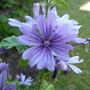 Malva sylvestris 'Primley Blue' (Malva Sylvestris)