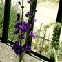 Larkspur (Delphinium ajacis)
