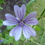 Malva sylvestris &#x27;Primley Blue&#x27; (Malva Sylvestris)