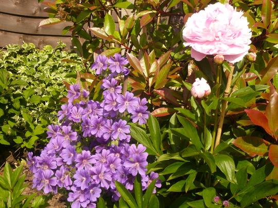 Wild geranium(????)