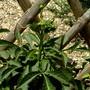 Dahlia in bud. (Dahlia Pinnata (Dahlia))
