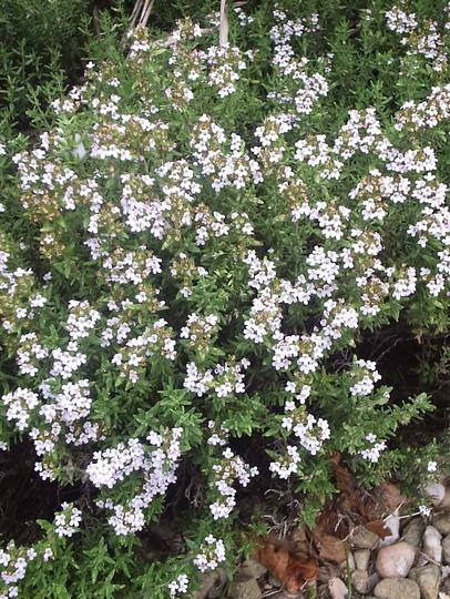 Thyme  (Thymus vulgaris)