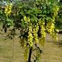 Young Laburnum. (Laburnum anagyroides (Common Goldenchain))