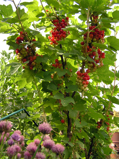 Ribes rubrum - Jam sugar on standby (Ribes rubrum (Redcurrant))