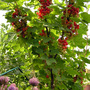 Ribes rubrum - Jam sugar on standby (Ribes rubrum (Redcurrant))