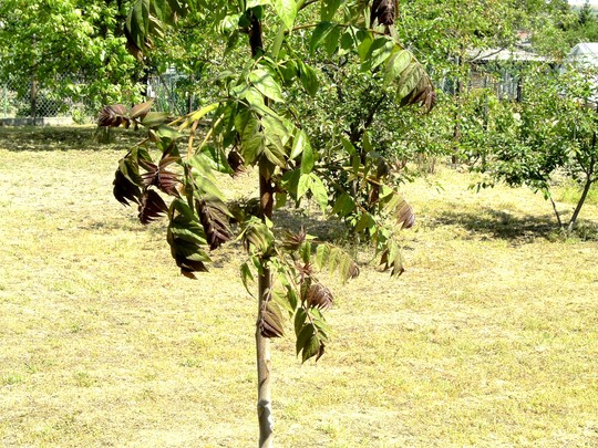 Ailanthus. (Ailanthus altissima (Tree of heaven))