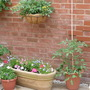 Tumbling Tomatoes in hanging baskets and Beefsteak tomatoes in tubs