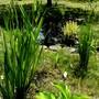 Yellow and blue Irises in bud near the pond. (Iris sibirica (Siberian iris))