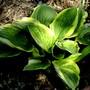Hosta (Hosta fortunei (Plantain lily))