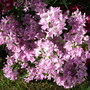 Dianthus barbatus (Sweet William) (Dianthus barbatus (Sweet William))