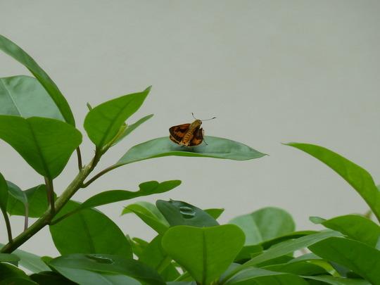Skipper butterfly on a leaf