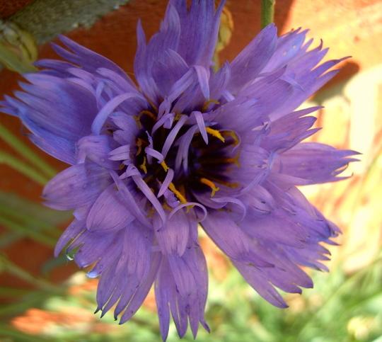 Catananche Caerulea 'Amor Blue' (Catananche caerulea (Cupid's dart))